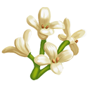 White Tea Olive Tree